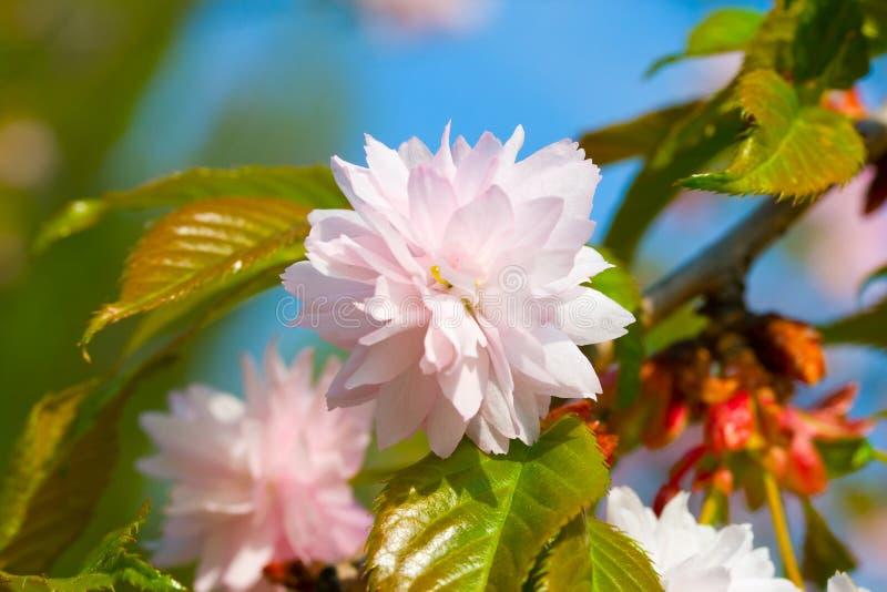 Close-up blossoming plum-tree