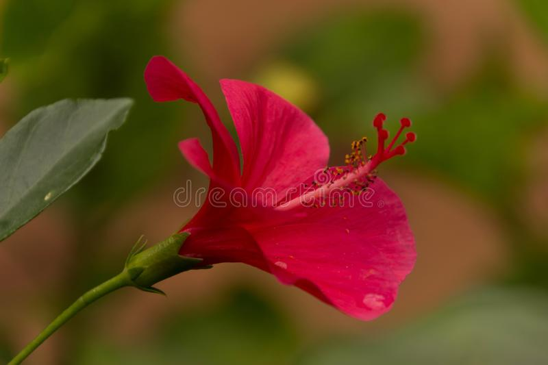 Close up of a blossoming red Hibiscus royalty free stock photography