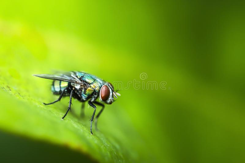 Close up of Blow fly stock images