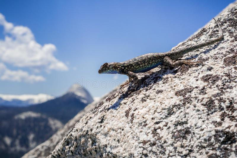 Blue bellied lizard Sceloporus occidentalis resting on a granite rock, Yosemite National Park, California. Close up of Blue bellied lizard Sceloporus stock photography