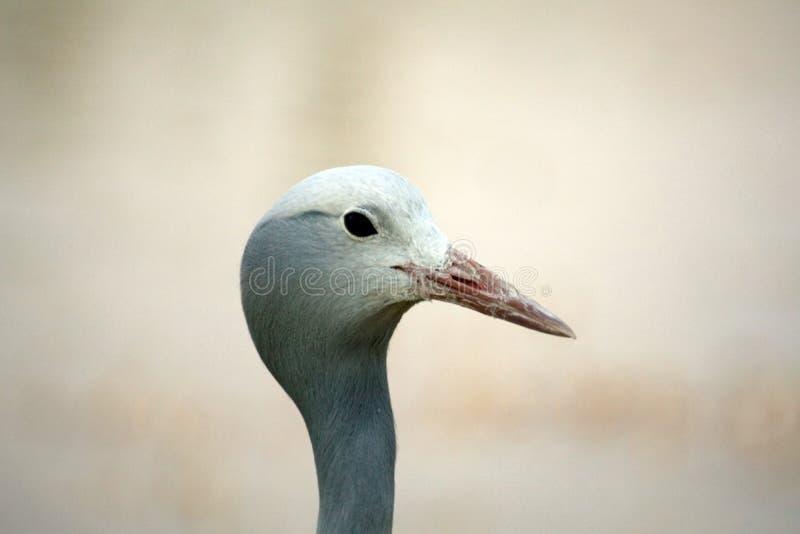 Close up of a blue crane. Head shot of a Blue crane - Grus paradisea - in Sun City, South Africa royalty free stock photos