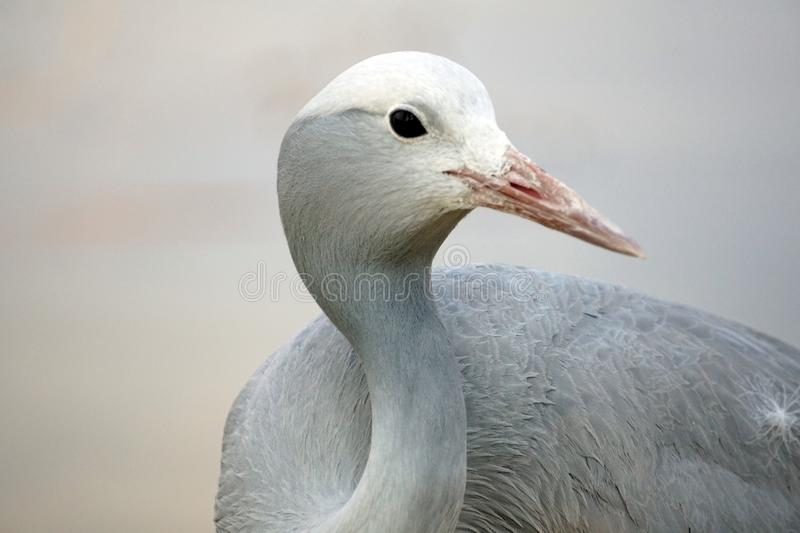 Close up of a blue crane. Head shot of a Blue crane - Grus paradisea - in Sun City, South Africa royalty free stock photography