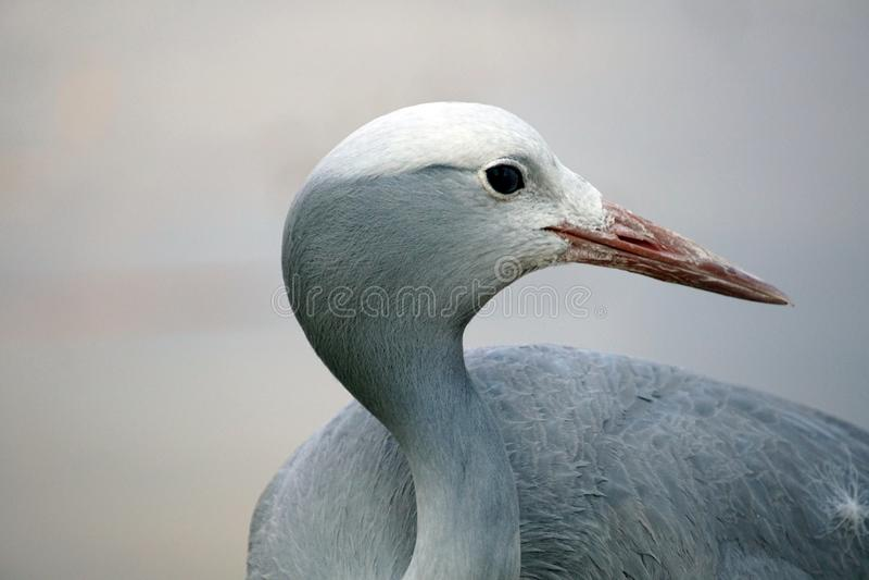 Close up of a blue crane. Head shot of a Blue crane - Grus paradisea - in Sun City, South Africa stock photos