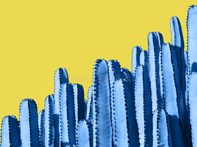 Close up of blue Euphorbia cactuses isolated on yellow Background. Room for text stock photography