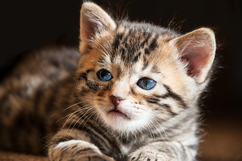 Close up of Blue Eyed Bengal Kitten in the Sun royalty free stock images