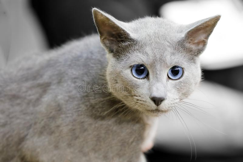 Close-up of a blue-eyed gray cat. Close up of a blue-eyed gray cat stock photography