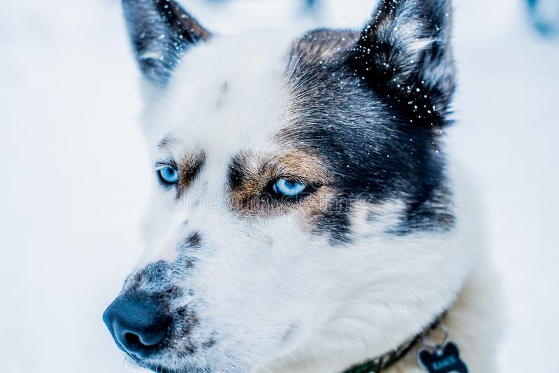 Close up Siberian Husky Dog Sled in Ivalo, Finland royalty free stock photography