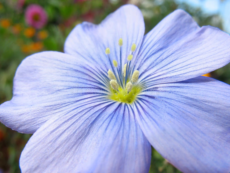 Close-up of blue flax flower royalty free stock photography