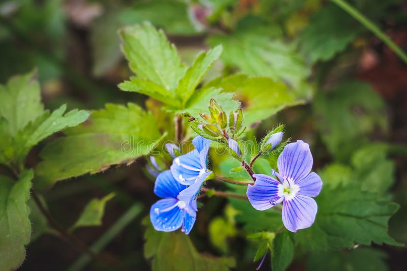 Close-up of a blue flower Veronica chamaedrys germander speedwell, bird`s-eye speedwell, or cat`s eyes, selective focus.  stock image