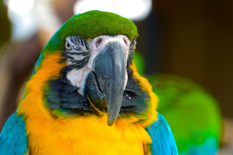 Close up Blue and gold macaw parrot head. royalty free stock image