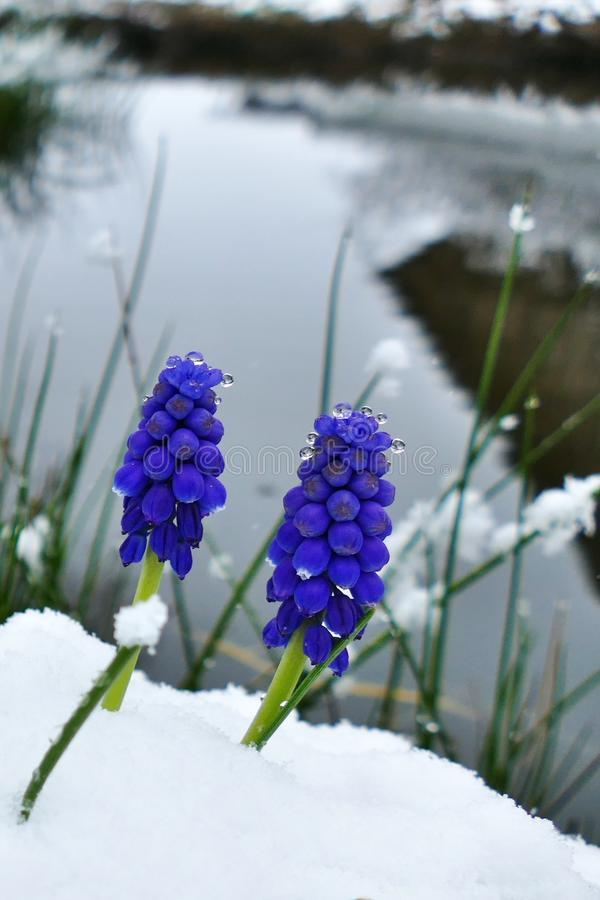 Close-up of a blue grape hyacinth blossom covered in snow stock images