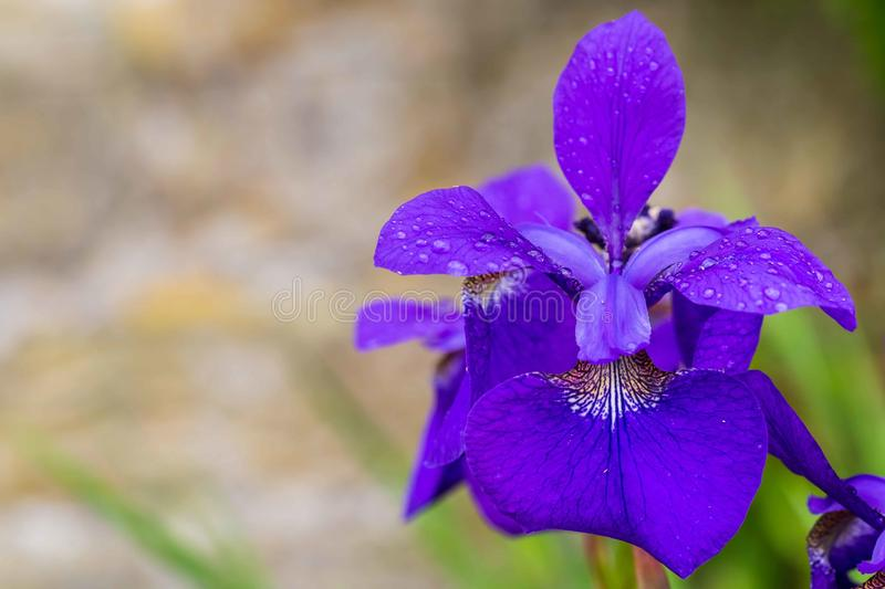 Close-up of blooming blue iris stock photos