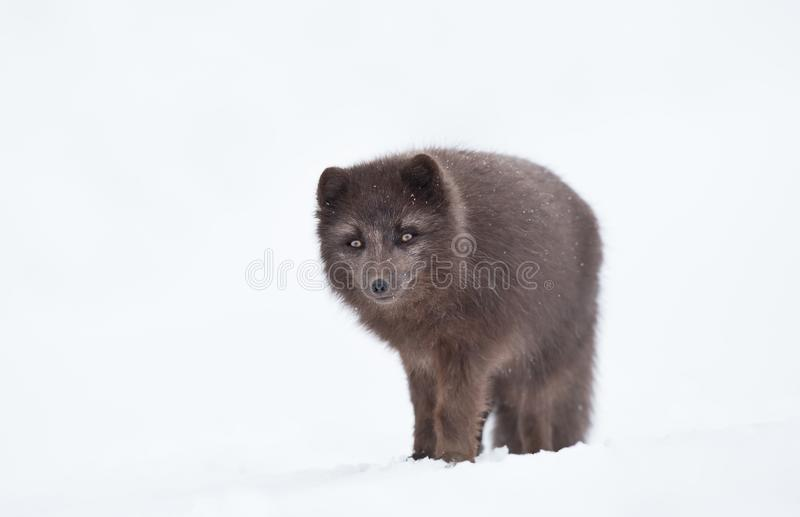 Close up of a Blue morph male arctic fox in winter. Iceland royalty free stock images
