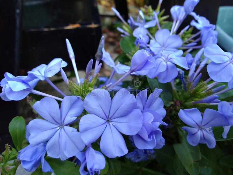 Blue Plumbago with green leaves stock photos