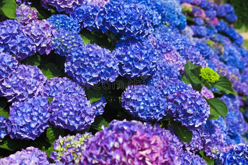 Close up of blue and purple blooming hortensia flowers - Netherlands, Venlo royalty free stock photo