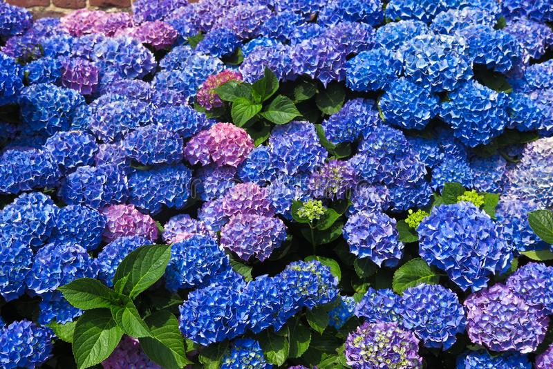 Close up of blue and purple blooming hortensia flowers - Netherlands, Venlo stock images