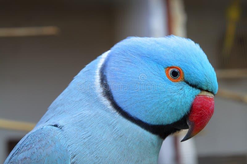 Close Up of Blue Ringneck Parakeet. Close up detail of a Blue Ringneck Parakeet's head and plumage stock photography