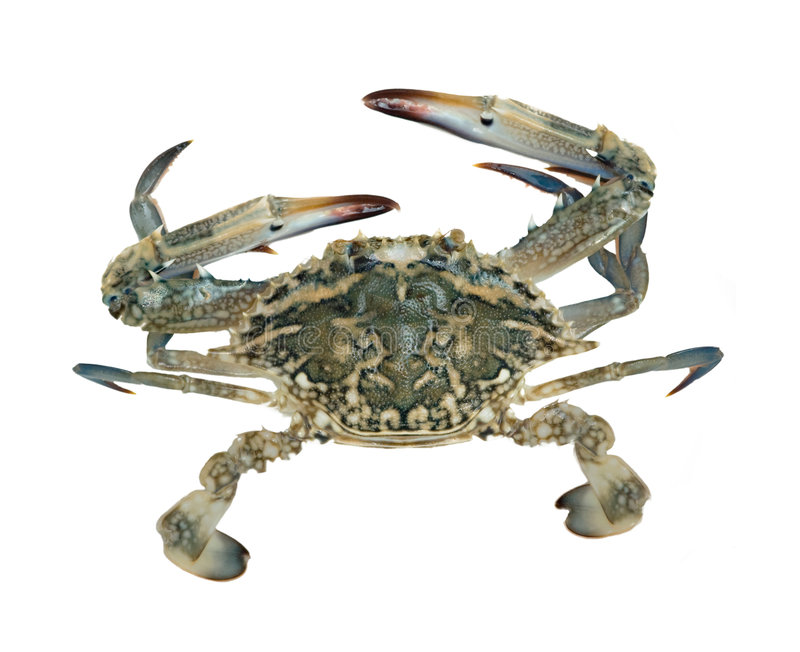 Close up of blue swimmer crab royalty free stock photo