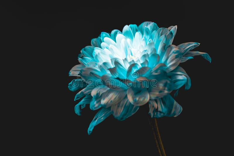 Close up of blue and white daisy,. Isolated on black stock image