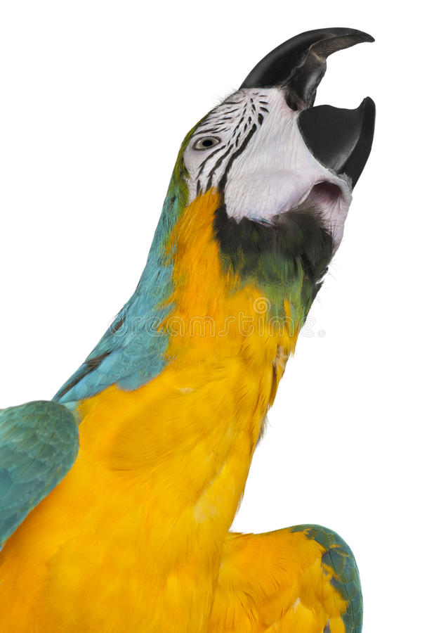 Close-up of Blue-and-Yellow Macaw, Ara ararauna. 16 months old, in front of white background royalty free stock image