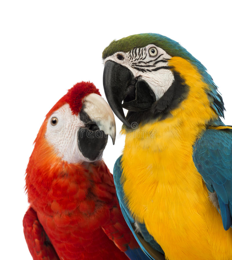Close-up of a Blue-and-yellow Macaw, Ara ararauna, 30 years old, and Green-winged Macaw, Ara chloropterus, 1 year old. In front of white background royalty free stock photos