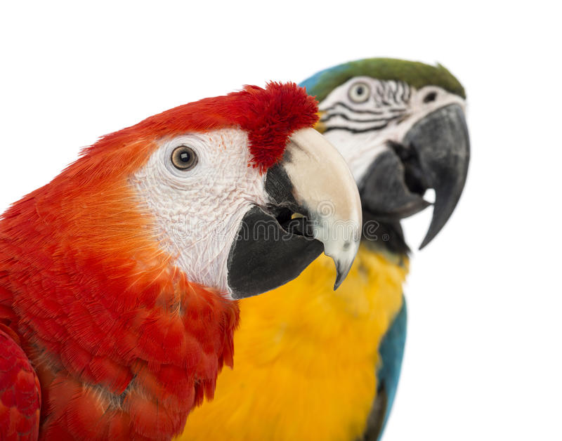 Close-up of a Blue-and-yellow Macaw, Ara ararauna, 30 years old, and Green-winged Macaw, Ara chloropterus, 1 year old. In front of white background stock photography