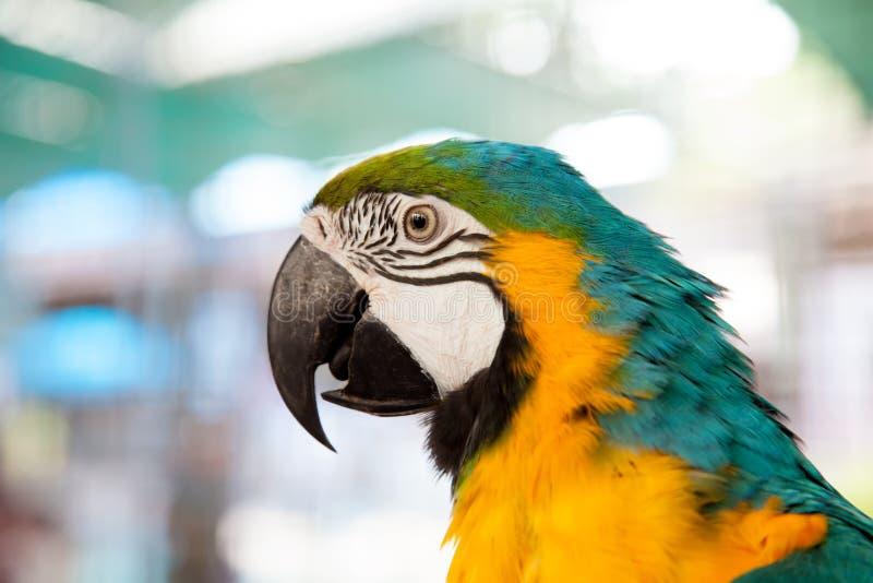 close up of blue-and-yellow macaw (Ara ararauna) royalty free stock image