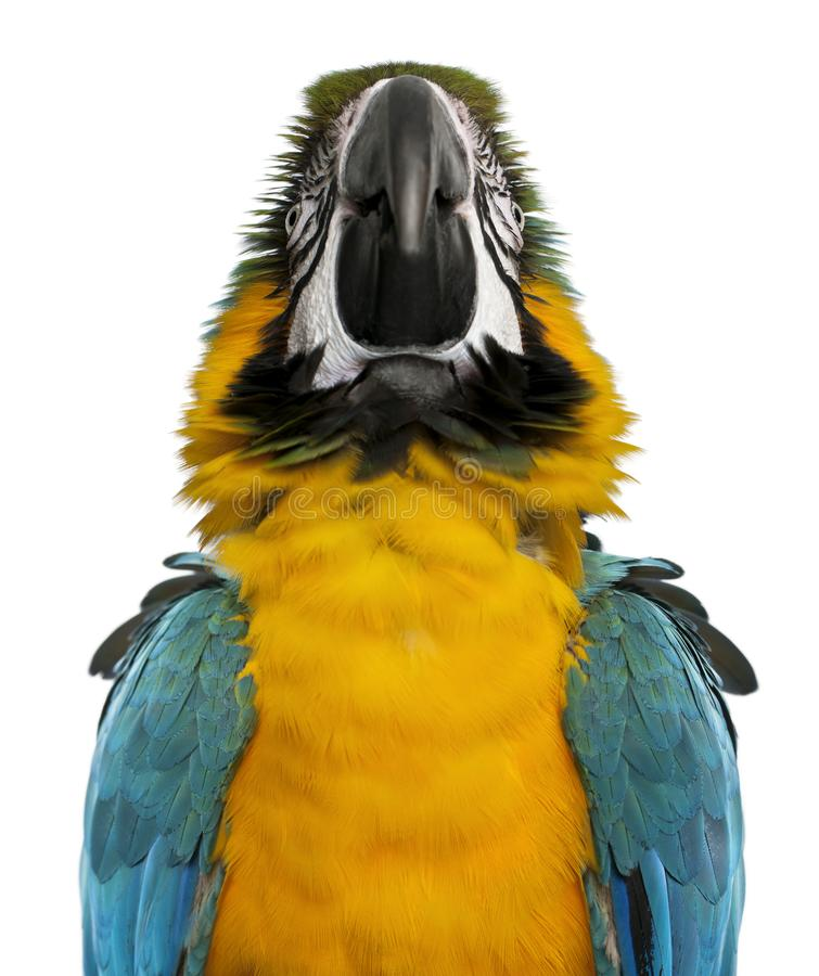 Close up of Blue and Yellow Macaw, Ara Ararauna stock photography