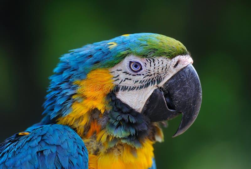 Close-up of Blue-and-Yellow Macaw, Ara ararauna royalty free stock photography
