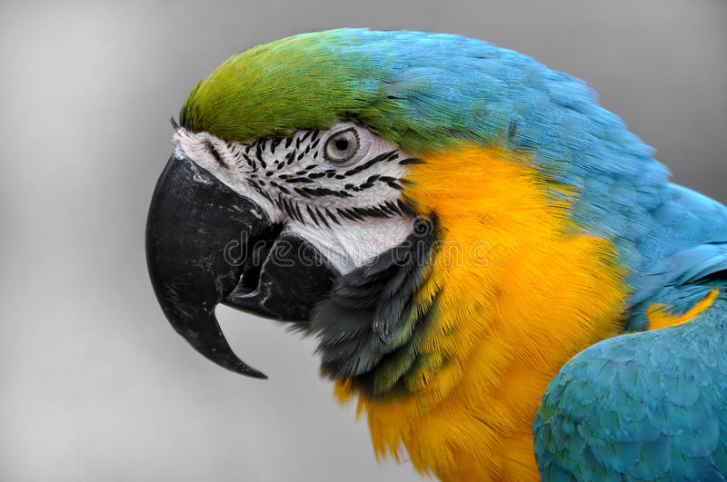 Download Close-up Blue-and-yellow Macaw Ara Ararauna Head Royalty Free Stock Images - Image: 25230769