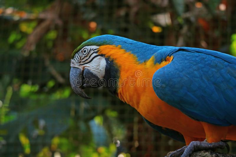 Close Up of Blue-and-Yellow Macaw Parrot or Ara ararauna in the Park, Foz do Iguacu, Brazil, South America stock photo