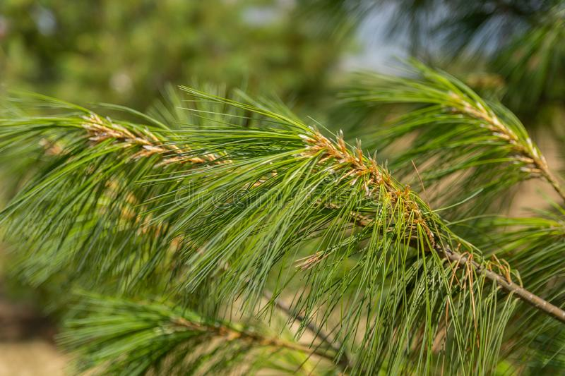Close up of blurred green branches and pine trees needles in nature stock photo