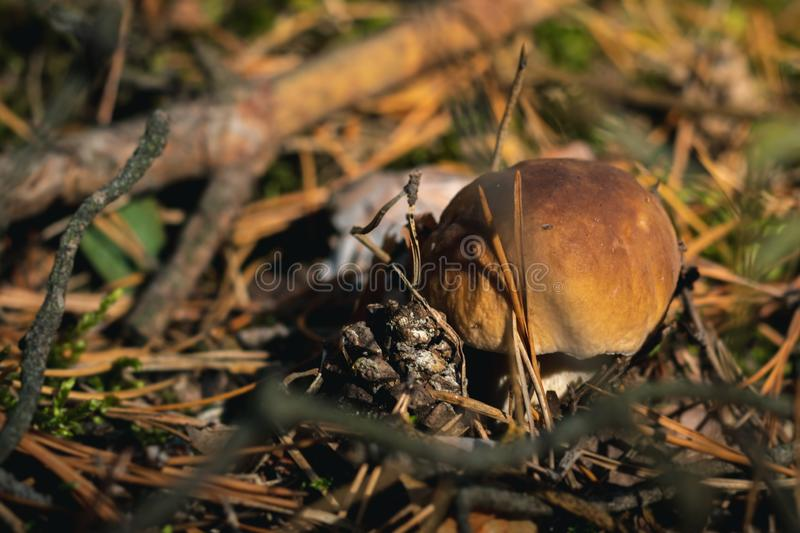 Close up of boletus on wild forest background with grass, moss and sticks. The most tasty mushroom in polish forest royalty free stock images