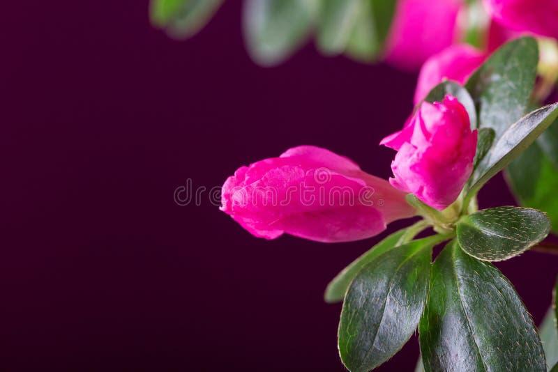 Close up bonito brilhante da flor da azálea em escuro - vermelho foto de stock royalty free