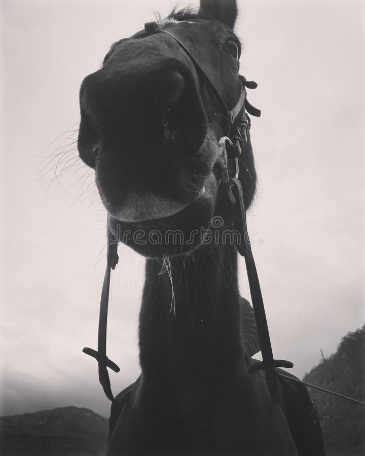 Close up bonito da cara do cavalo imagem de stock royalty free
