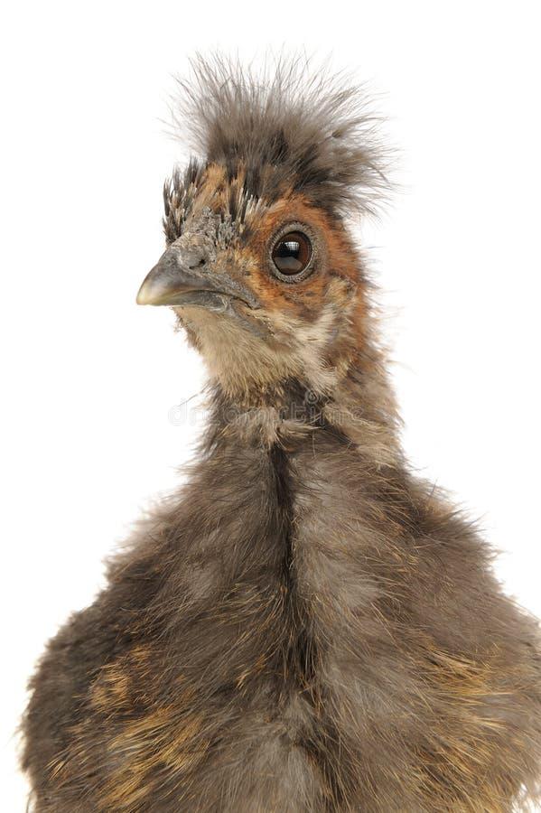 Close-up bonito da galinha do bebê de Silkie do chinês no fundo branco imagens de stock