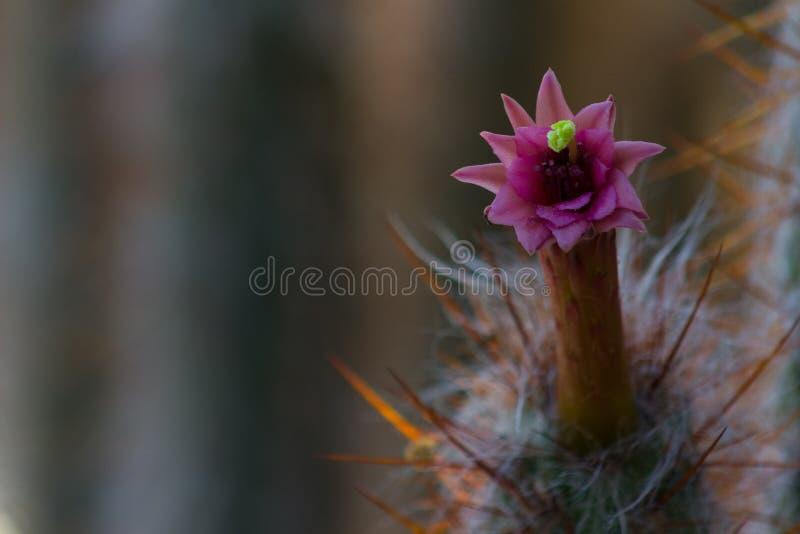 Close-up bonito de uma flor cor-de-rosa ou magenta em um cacto de Oreocereus Pseudofossulatus fotos de stock