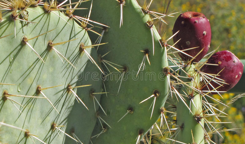 Close-up Bonkreta Kłujący Kaktus obrazy royalty free