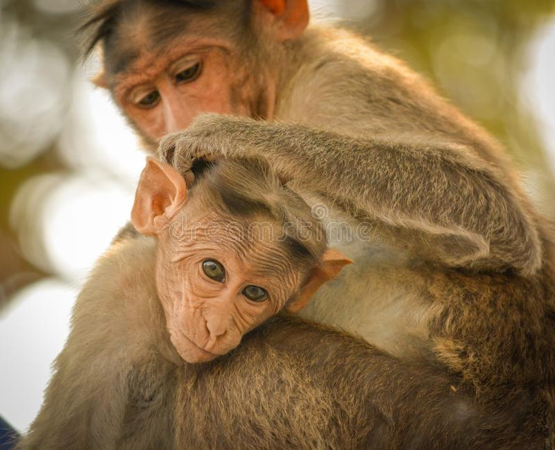 Close up of Bonnet Macaque Indian baby monkey sitting with his mother stock photos