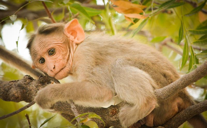 Close up of Bonnet Macaque Indian baby monkey royalty free stock images