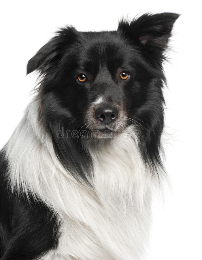 Close-up of Border Collie, 3 and a half years stock photos