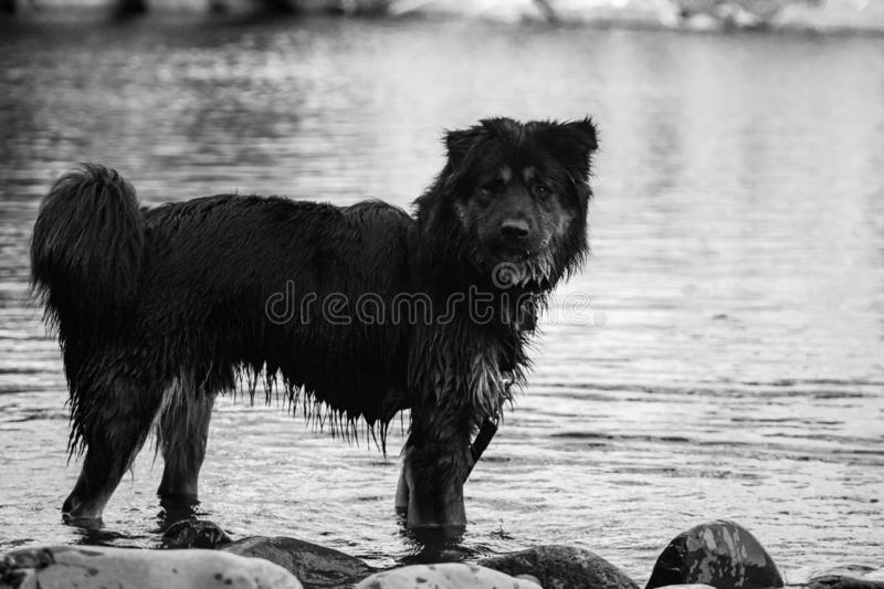 Black and white dog plays in the river stock photos