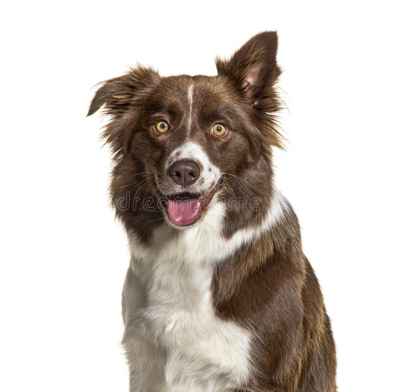 Close-up of a Border Collie, isolated stock photos