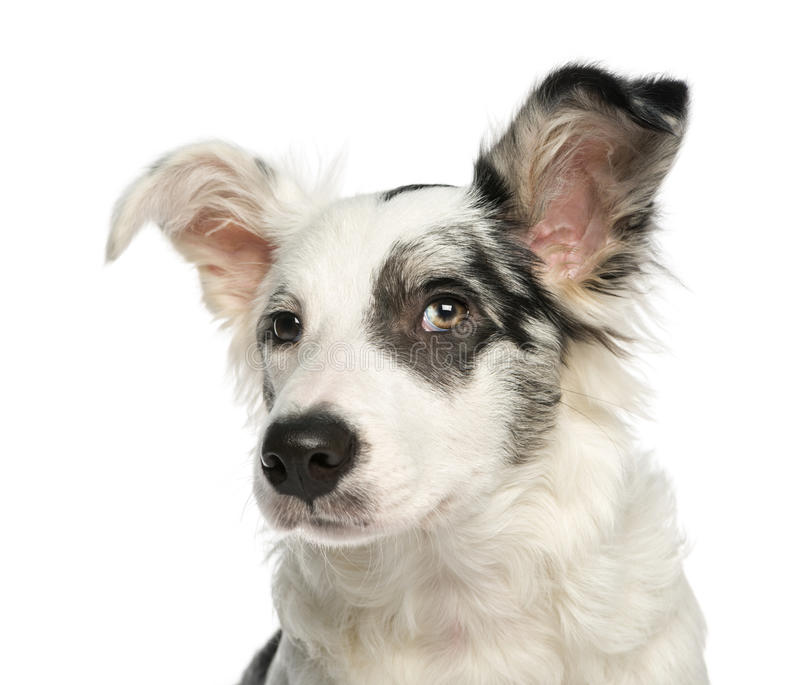 Close-up of a Border Collie with wall-eyes, 5 months old. Isolated on white stock photography