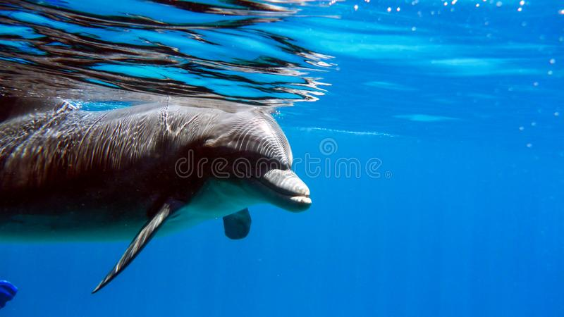 Close up of Bottlenose Dolphin in the red sea of Israel, Eilat. Close up of Bottlenose Dolphin in the red sea of Israel, Eilat royalty free stock photography