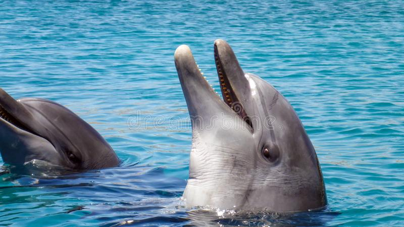 Close up of Bottlenose Dolphin in the red sea of Israel, Eilat. Close up of Bottlenose Dolphin in the red sea of Israel, Eilat stock photography