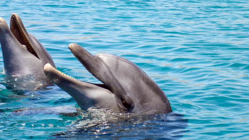 Close up of Bottlenose Dolphin in the red sea of Israel, Eilat. Close up of Bottlenose Dolphin in the red sea of Israel, Eilat royalty free stock image