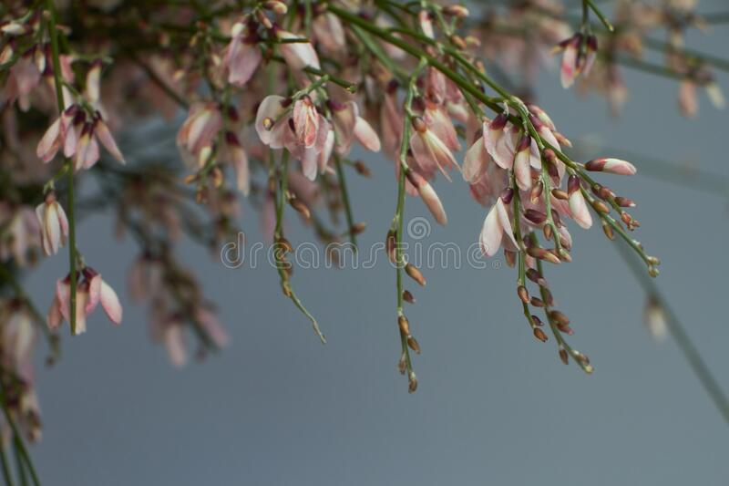 Close-up bouquet of light pink genista cytisus flowers in a glass vase. Selective focus royalty free stock images