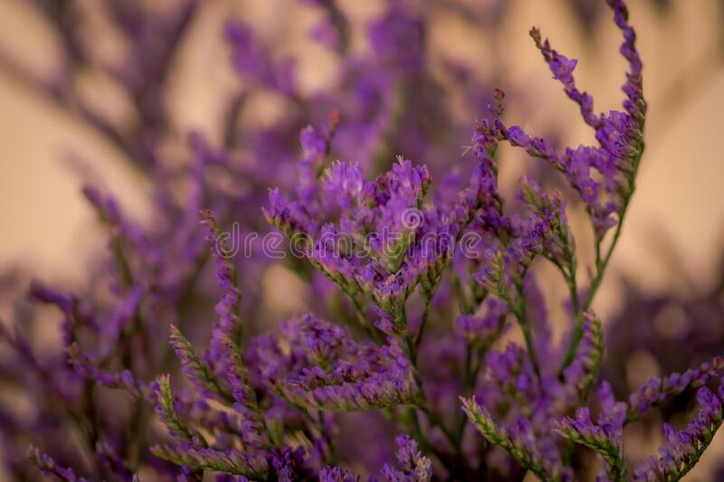 Close up of a bouquet of Limonium Maine Blue Foliage variety, studio shot, purple flowers royalty free stock images