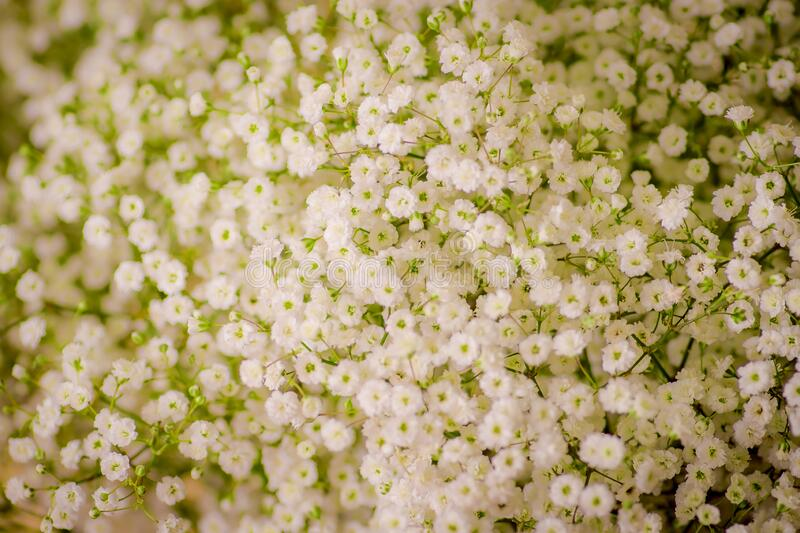 Close up of a bouquet of Million Stars foliage variety, studio shot, white flowers royalty free stock images